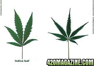 indica-sativa-leaves.jpeg