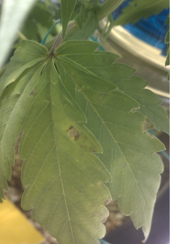 july12-lower-leaves-brown-spots-2.png