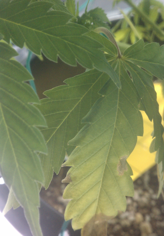 july12-lower-leaves-brown-spots-3.png