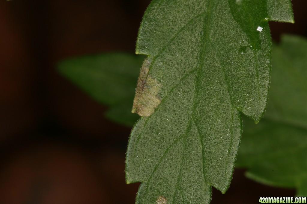 leaf3_2.JPG