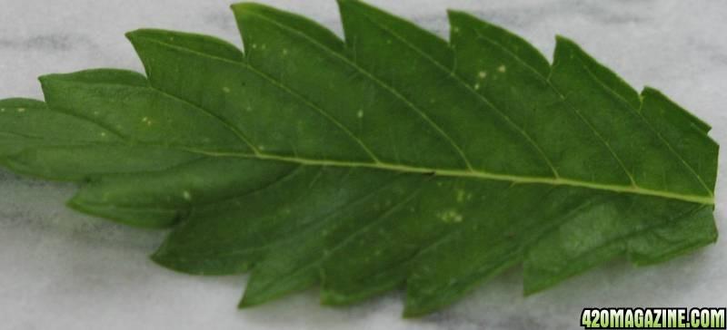 leaf_damage_003.jpg