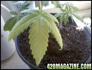 light_colored_leaves.jpg