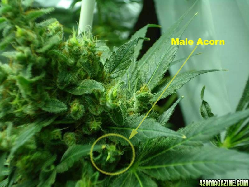 Female plant producing seed without male