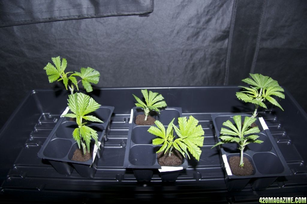 Guide To Cloning With Rapid Rooters Root Riot Plugs Xlr8 Style