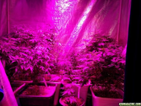 icemud led grow light cannabis 49 420 magazine photo gallery. Black Bedroom Furniture Sets. Home Design Ideas