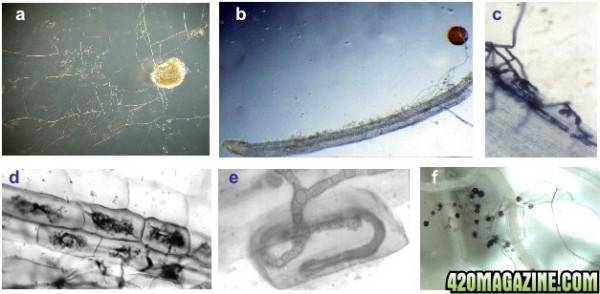 mycorrhiza thesis