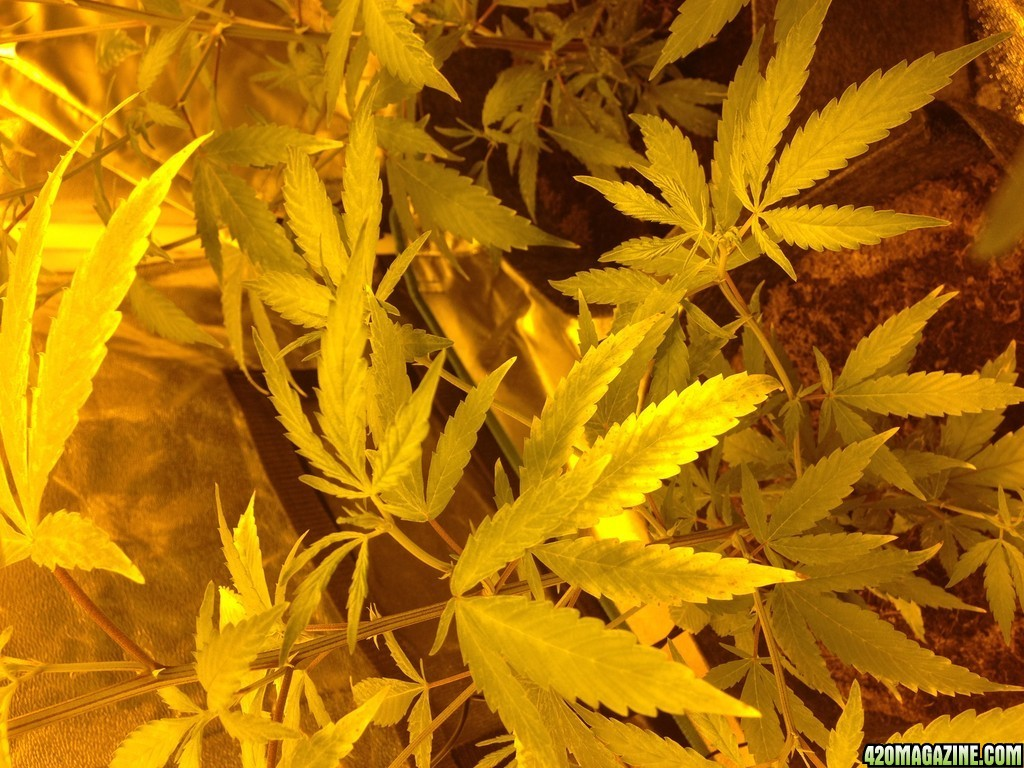 Help Clones Amp Seedling Have Curling Leaves Yellow