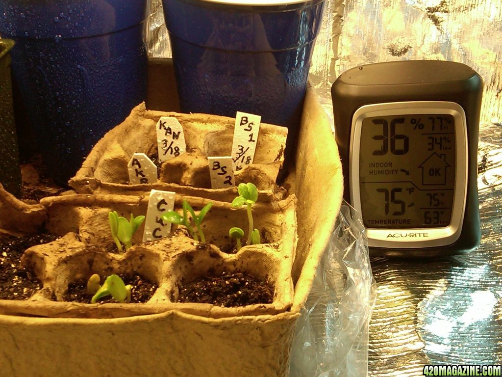 pic_of_grow_5_days_after_germination_mar_23_11.jpg