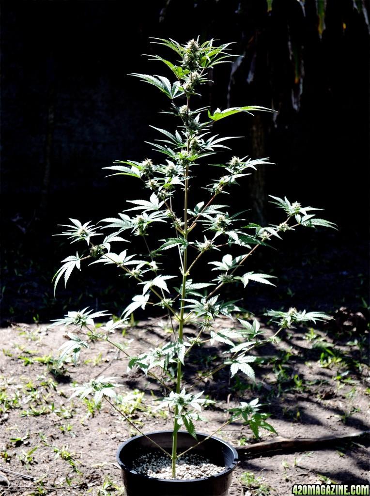 plantaSMday70.jpg