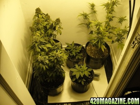 Gunjababy S Soil Closet Grow Blueberry And Skunk 1 420