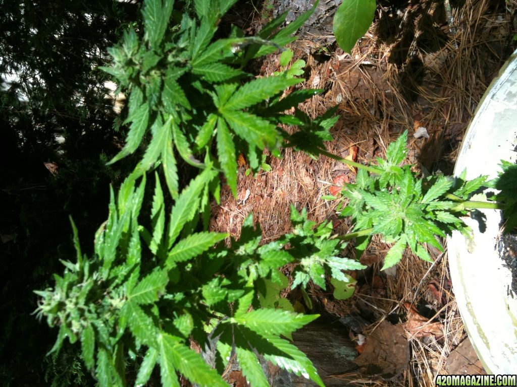 how to grow feminized seeds outdoors