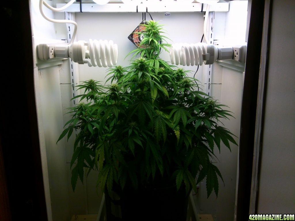 Small Cfl Grow Room
