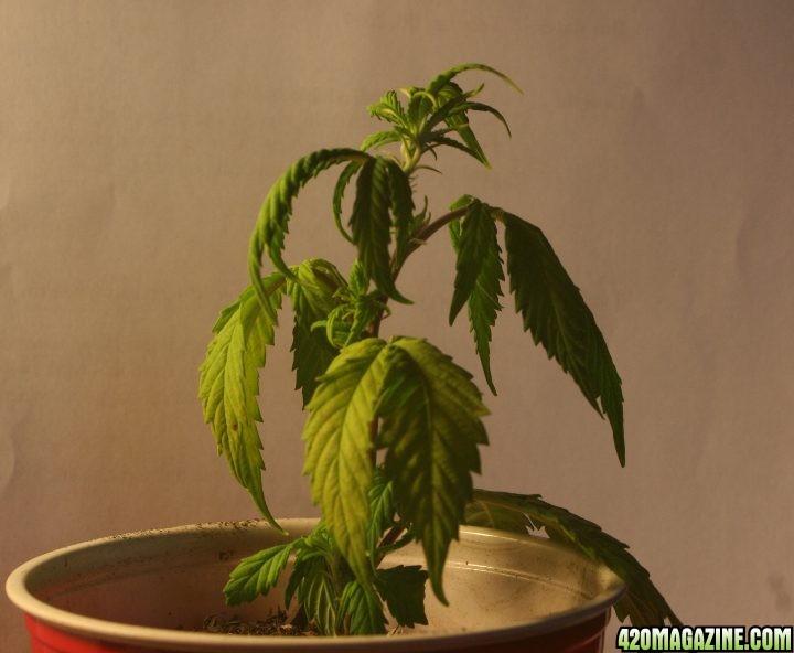 weed-under-watered.jpg