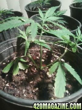 weed218.jpg