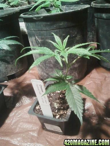 weed315.jpg