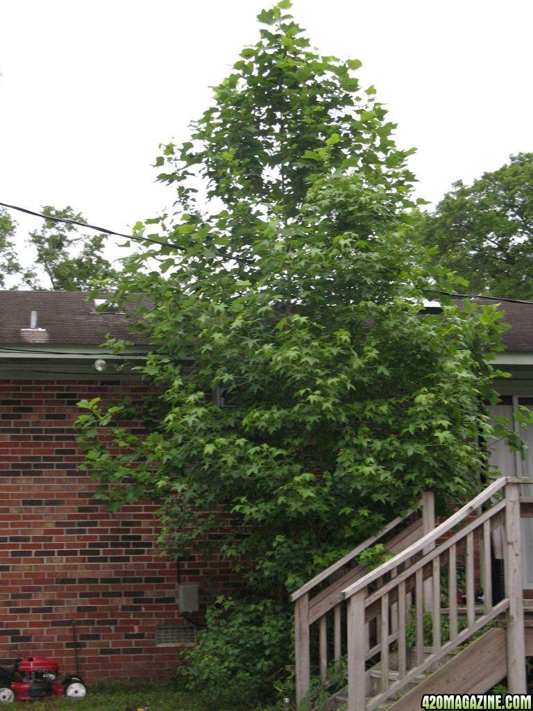 420 tree hookup