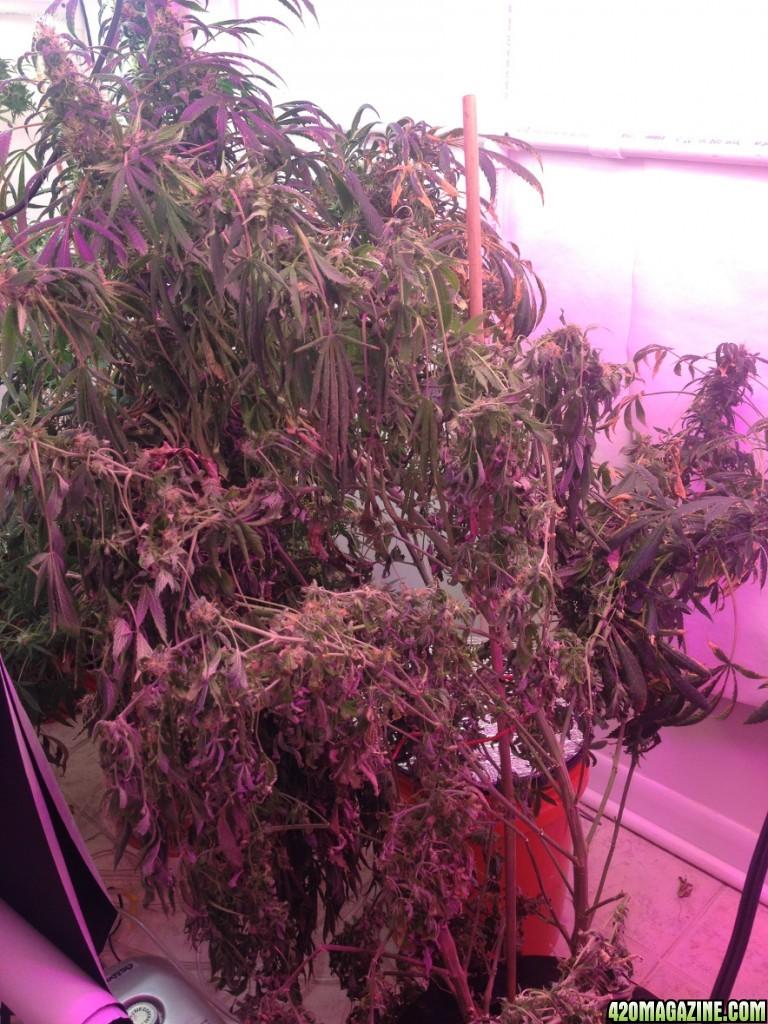 wilting_cannabis.JPG