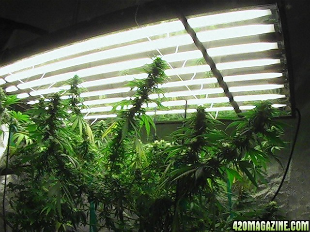 how to grow weed with cfl lights