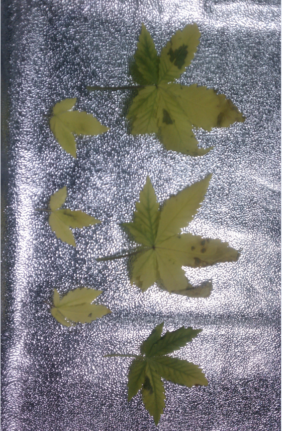 yellow-leaves-cut.png