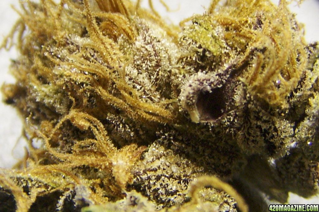 Train Wreck Weed Plant http   www 420magazine com forums medical    Train Wreck Weed Plant