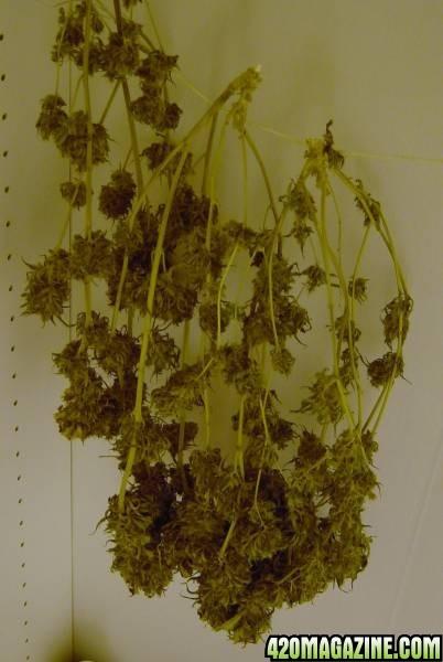 drying_buds.JPG