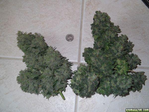 Ak 47 x lowryder выращивание 90