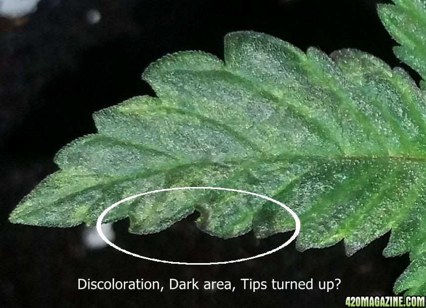 Durban Poison first grow and potential issue | 420 Magazine ®