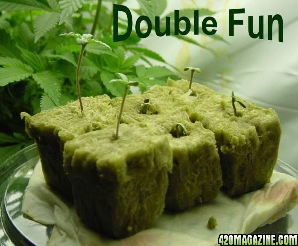 Doulble_Fun_Seedlings_005.JPG