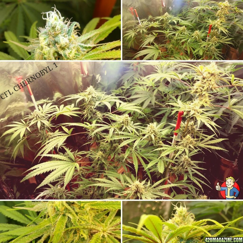 1st CFL Grow | 420 Magazine ®
