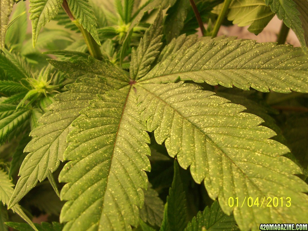 Yellowing leaves on cannabis during flowering images flower yellowing leaves on cannabis during flowering image collections yellow leaves on marijuana plants during flowering images mightylinksfo