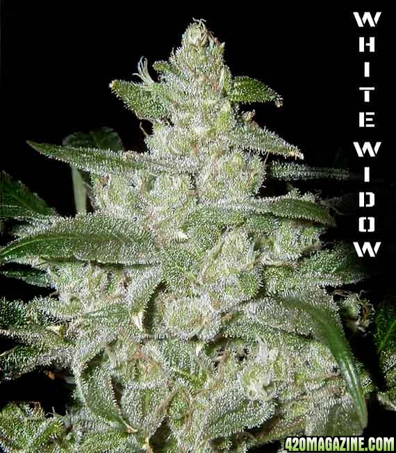 white widow weed marijuana - photo #29