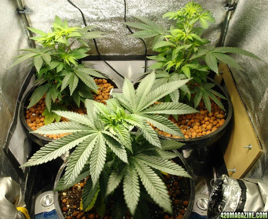 usul u0026 39 s grow 2 1  red cherry berry  indoor 250w mh  hps  2 u0026 39 x2 u0026 39  scrog in soil