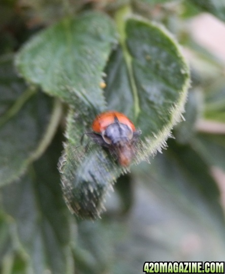 ladybugEatsInchworm.jpg