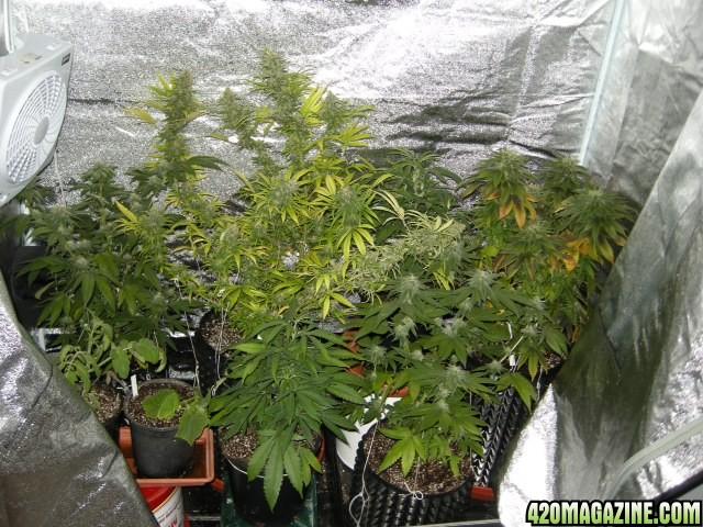 Shiva shanti ii grow report