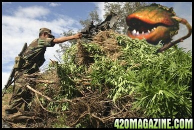 20061222-killercannabis.jpg
