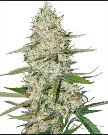 Thank You To Our New Sponsor Growers Choice Seeds   420