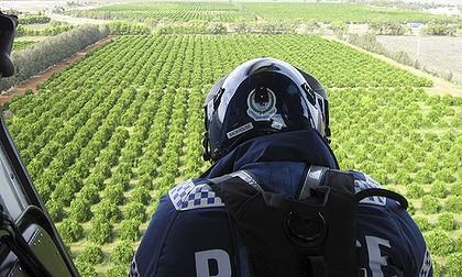 Griffith-marijuana-1-420x0.jpg