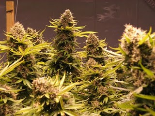 marijuana_raspberry_plant-4.jpg