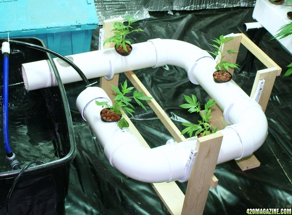 how to grow taro from tuber