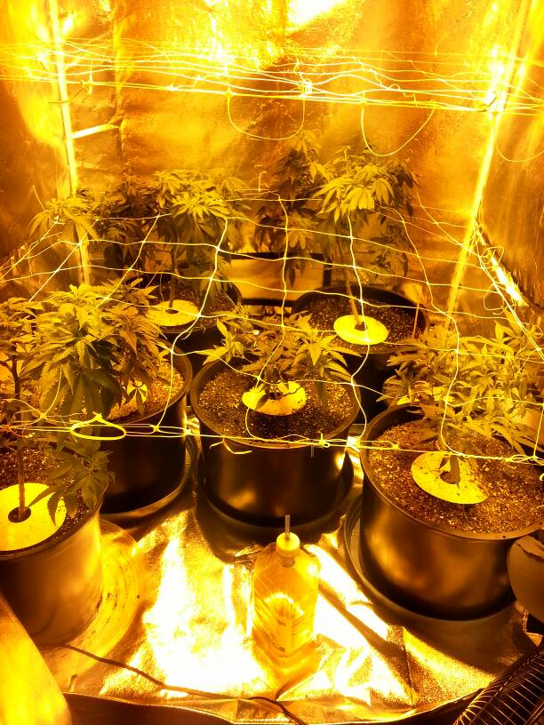 how to grow green crack indoors
