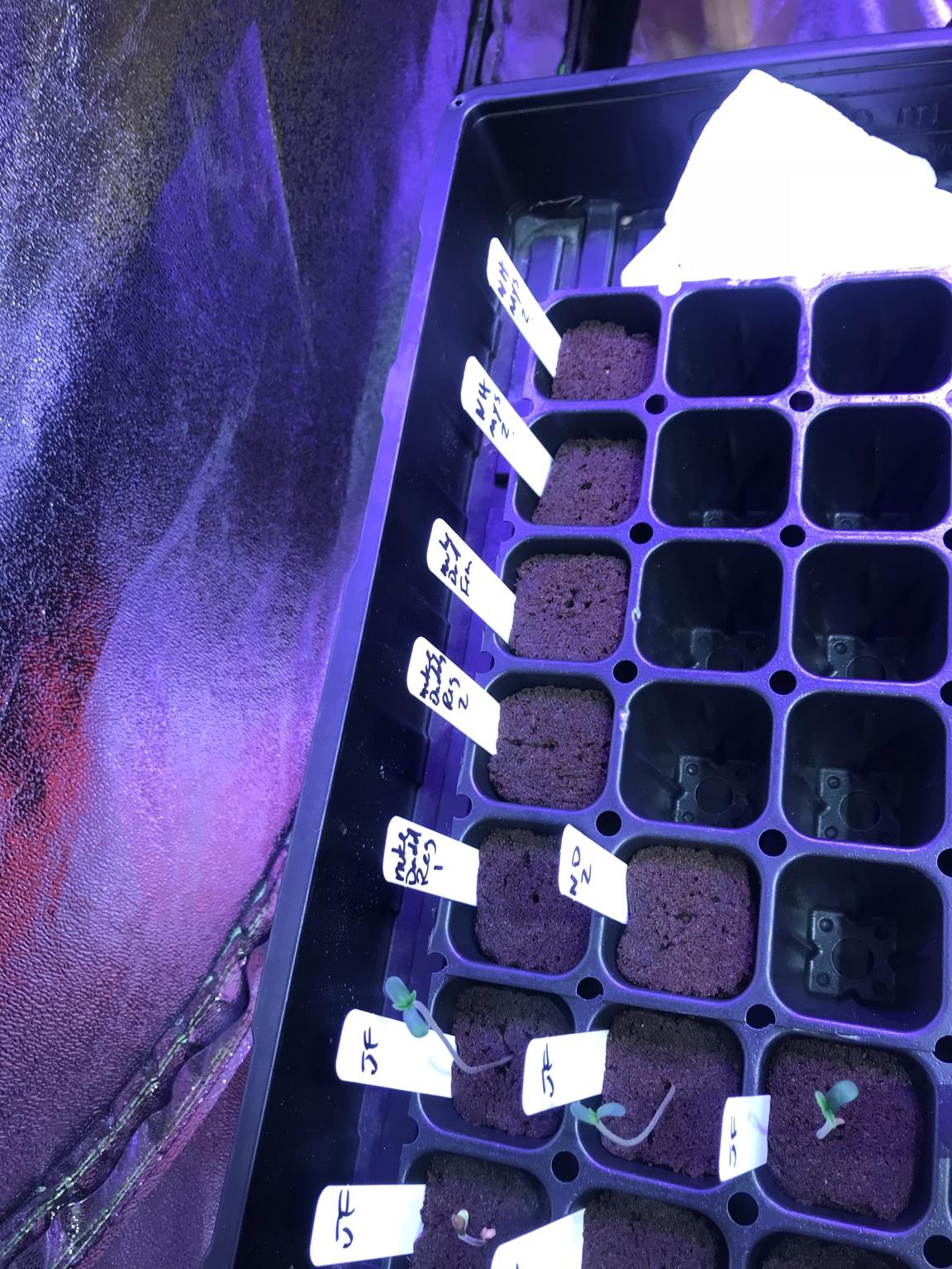 Fsanti's NukeDaddy - COB LED W/QBS Grow | Page 2 | 420