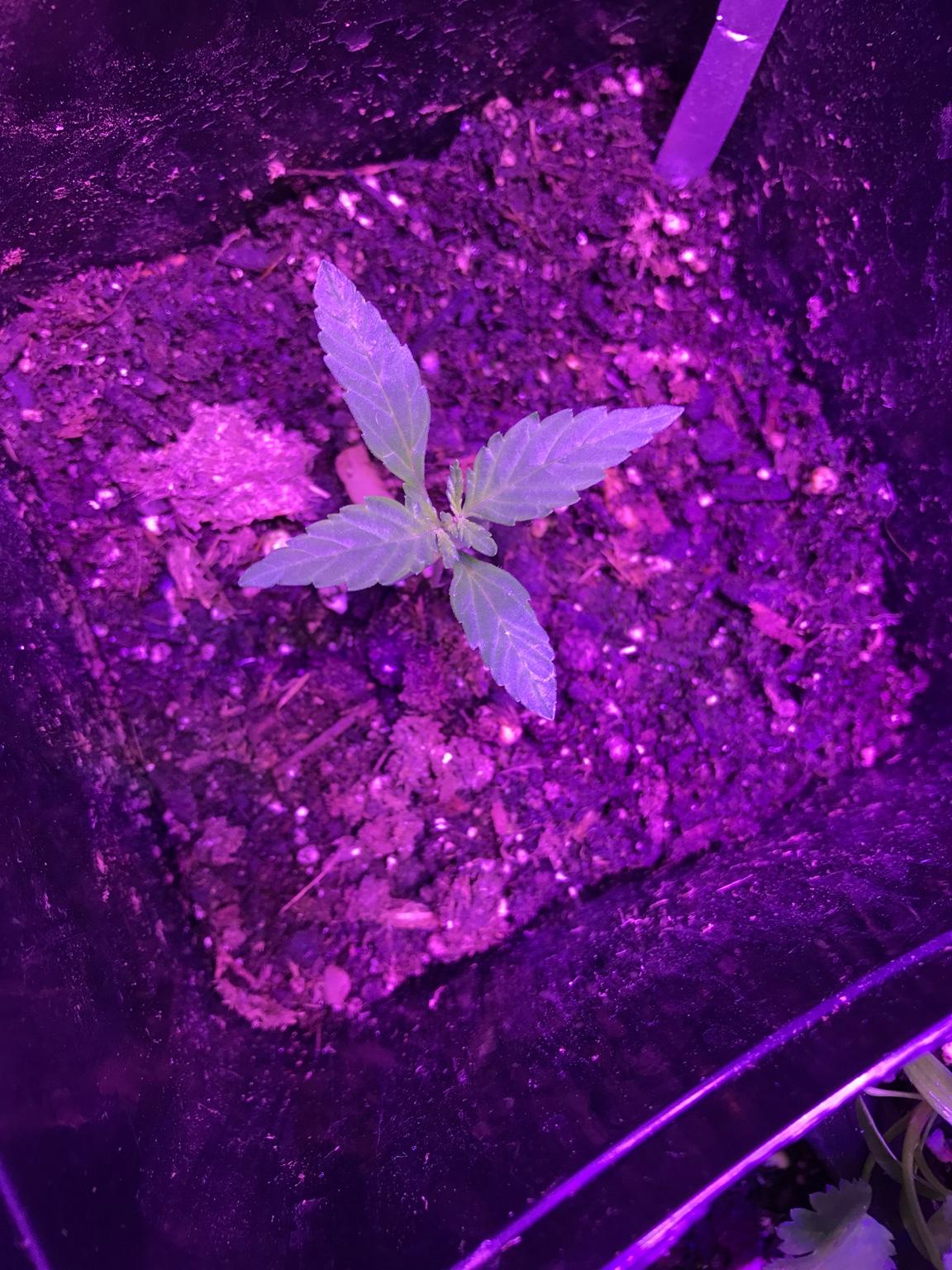 how to grow purple kush autoflower