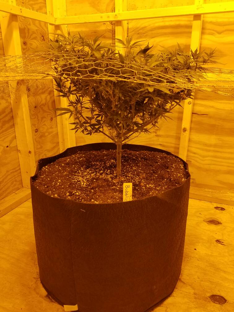 BlackWoelf's Grow Room Build & Breeding Project - 2016