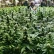 How-To-Grow-Marijuana-150x165