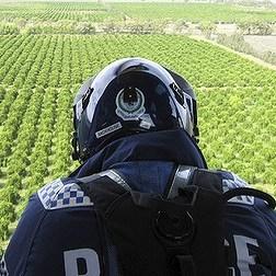 Griffith Mafia Marijuana Vineyard