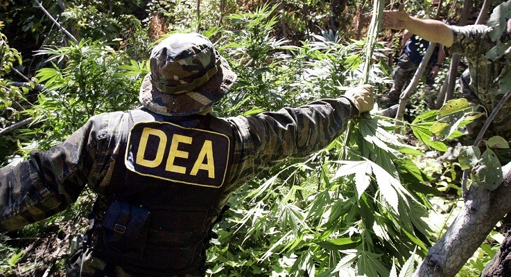 "** ADVANCE FOR WEEKEND EDITIONS OCT. 1-2 ** A Drug Enforcement Administration agent hands a freshly-pulled marijuana plant off to another law enforcement officer as they work to clear a patch of the week planted beneath a spread of native flora on national forest land near Entiant, Wash., Sept. 20, 2005. Police confiscated 465 marijuana plants at the so-called ""garden,"" a small find compared to the thousands of other plants confiscated on some other busts in the area. The illegal marijuana growing operations are wreaking havoc on counties with huge tracts of open space and few resources to tackle them. (AP Photo/Elaine Thompson)"