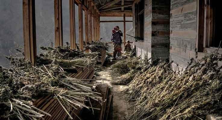 Himalayan-cannabis_farmers