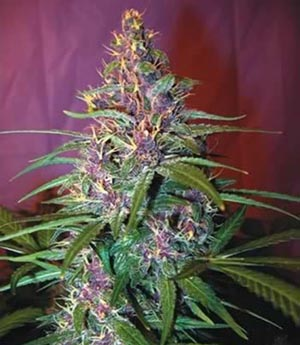 purple_haze_g13_labs_seeds (1)