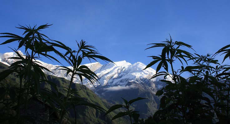 New Zealand Cannabis Regulation
