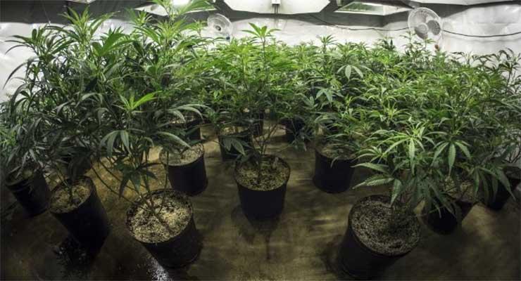 marijuana_vs_hemp_420magazine